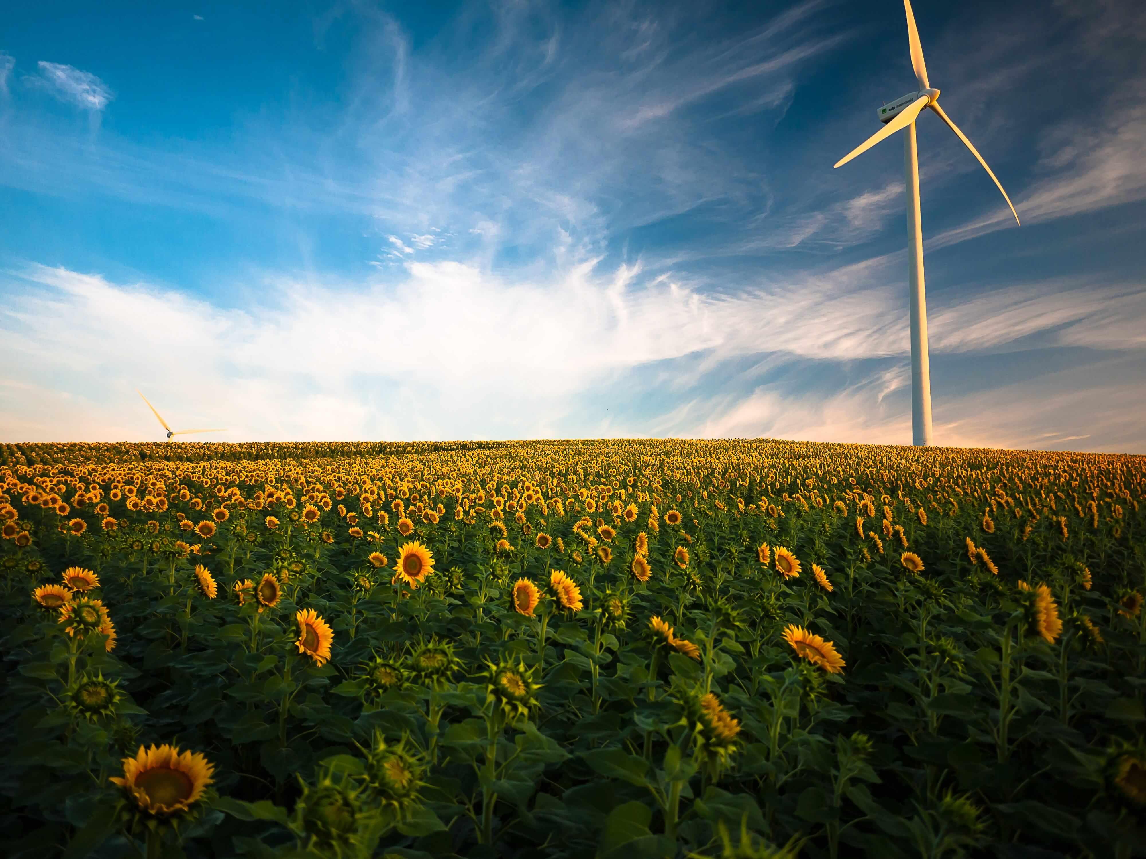 ein-feld-mit-sonnenblumen-unter-blauem-himmel-und-ein-windrad